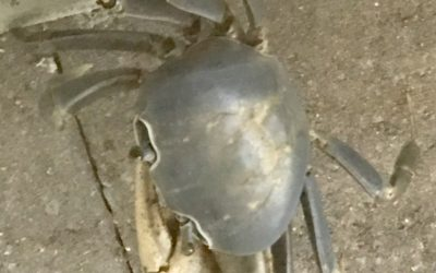 My Time Living With a Giant Crab